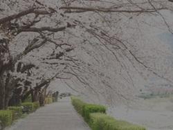 美し桜が暗く写るのを防ぎたい