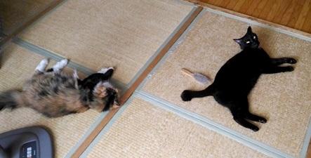 猫からカンピロバクターが伝染ることがある